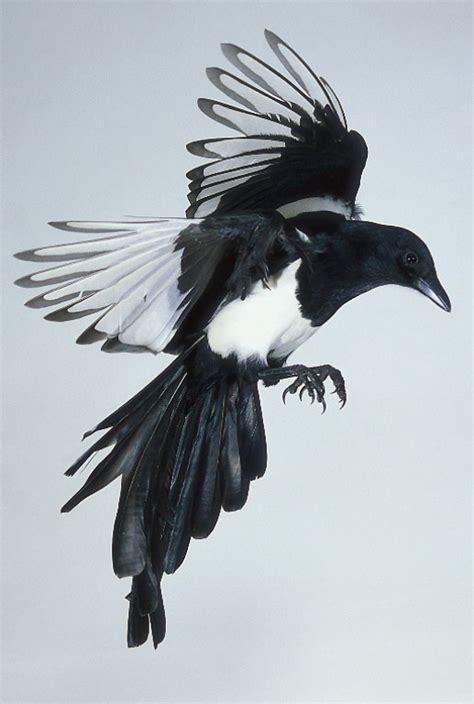 magpie tattoo next magpies ramblin