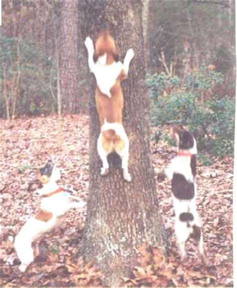 bench legged feist treeing feist dog pictures dog breeds picture