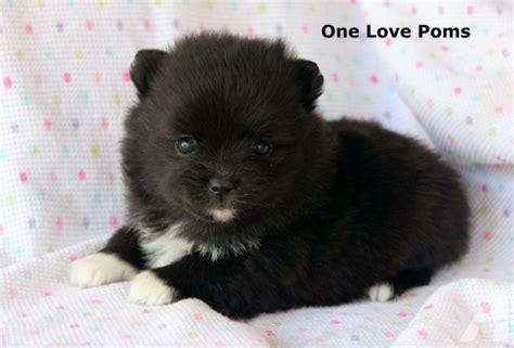 pomeranian puppies for sale md akc teddy pomeranian puppies for sale in graceham maryland classified