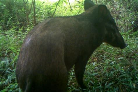 Topi Sporty Isl 110 Java Seven world s ugliest pig spotted in indonesia afp fourways review