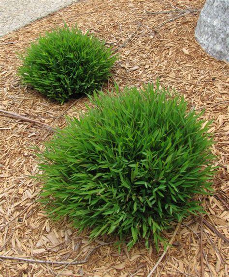 Topiary Outdoor - bamboo baby panda 7 quot pot hello hello plants amp garden supplies