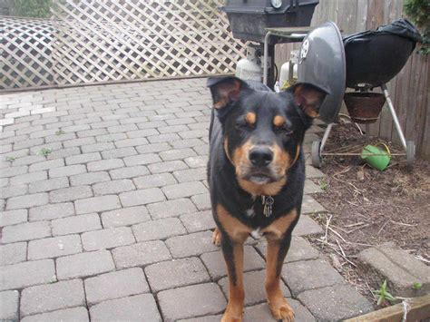 rottweiler chihuahua mix grown grown german shepherd rottweiler mix and cat