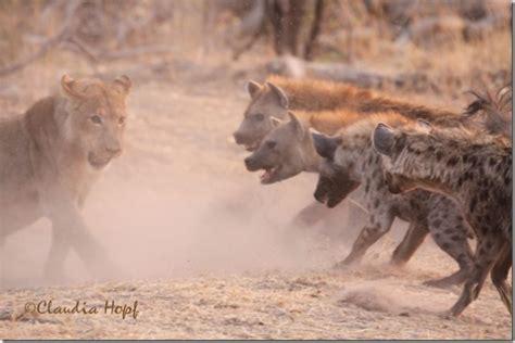 hyena vs image gallery vs hyena fight
