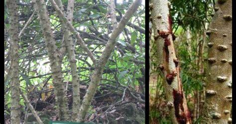 kayu brahmasecang brahma
