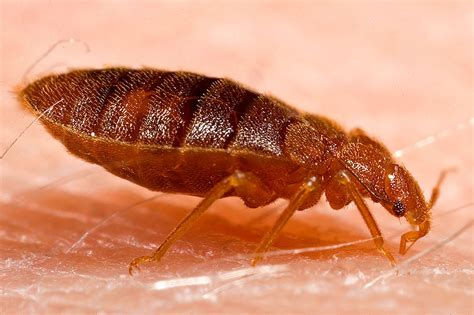 I Bed Bugs by Datei Bed Bug Cimex Lectularius Jpg