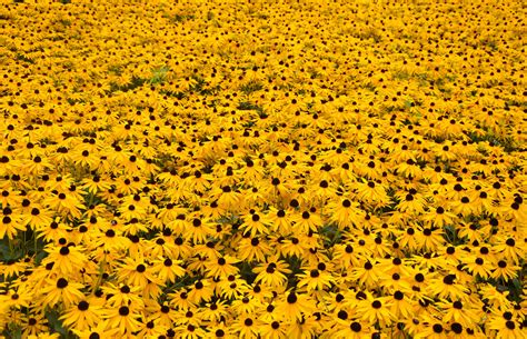 computer wallpaper yellow flower yellow flowers wallpapers images photos pictures backgrounds