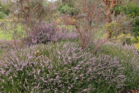 Heidekraut Pflege by Heidekraut Erika 187 Pflanzen Pflegen Vermehren Und Mehr