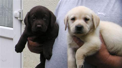 labrador puppies for sale stunning labrador puppies for sale romford essex pets4homes