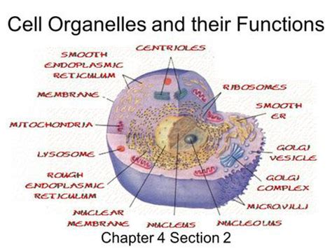 section 7 2 cell structures cell structure cell boundaries plasma membrane ppt
