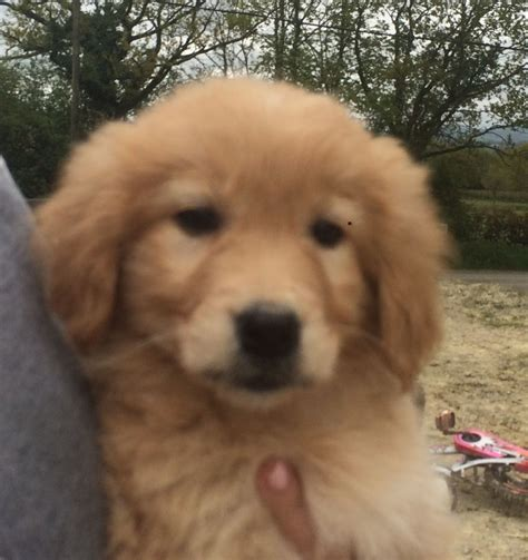 golden retriever puppies for sale san francisco collie x golden retriever puppies for sale photo