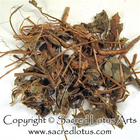 Yu Xing Cao Ekstrak Heartleaf Houttuynia Herb Herba Houttuyniae herb yu xing cao houttuynia herba radice