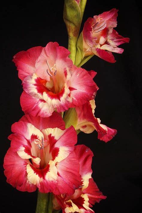 august birth flower tattoo gladiolus inspirations birth flowers