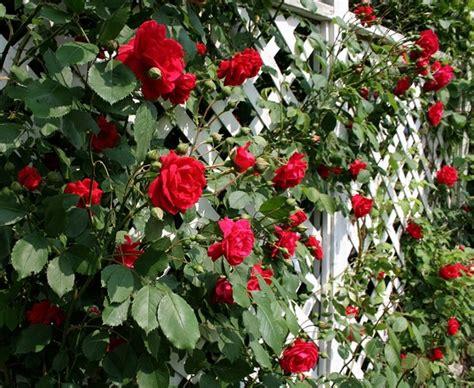 Imagenes De Rosas Trepadoras | trejaż ogrodowy ważny element małej architektury w ogrodzie