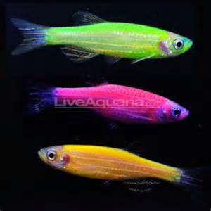 ethics of glofish, genetically modified neon fish