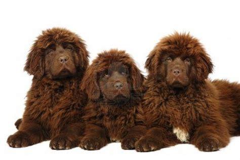 brown newfoundland puppies brown newfoundland puppies animals