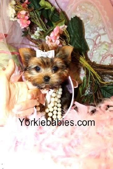 teacup yorkie puppies for sale 17 best ideas about teacup yorkie on mini