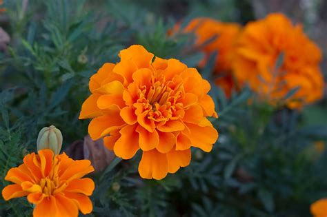 marigolds shade growing marigold the flower expert flowers encyclopedia