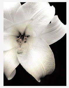 white lilies the mitchell 2 by