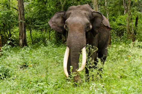 elephant biography in hindi asiatic elephant elephas maximus the asian or asiatic