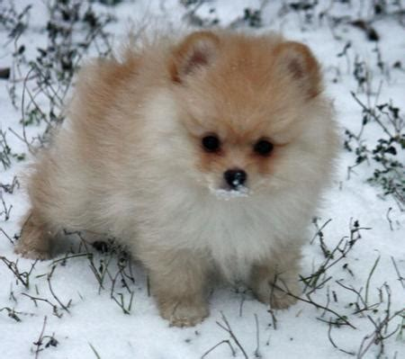 names for pomeranian dogs puppies puppy names pictures of puppies more daily puppy