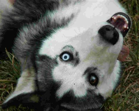 siberian husky husky siberian huskies photo 4827097 fanpop