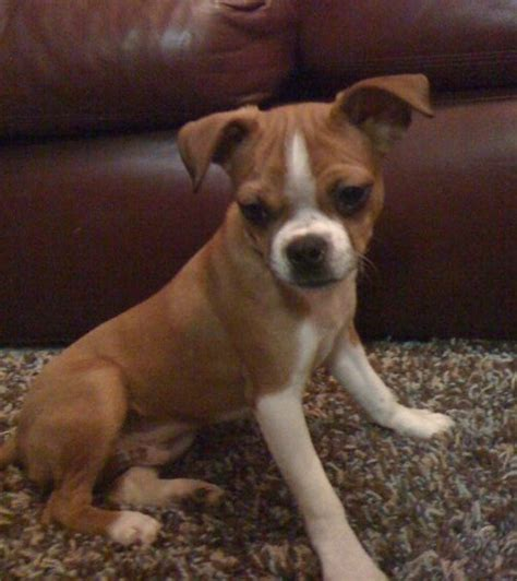 boxer chihuahua mix puppies boxachi boxer chihuahua mix info temperament pictures