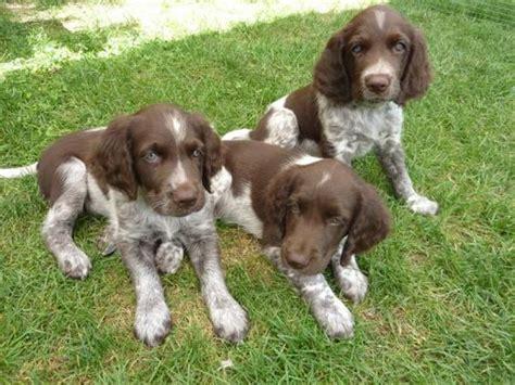 small munsterlander puppies small munsterlander info temperament puppies pictures