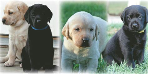 yellow lab puppies for sale in michigan kingseed kennels michigan labrador retriever boarding hunt test