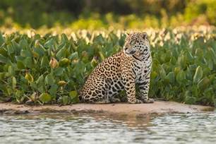 Jaguars Prey In The Rainforest Top Predators To Photograph On Your