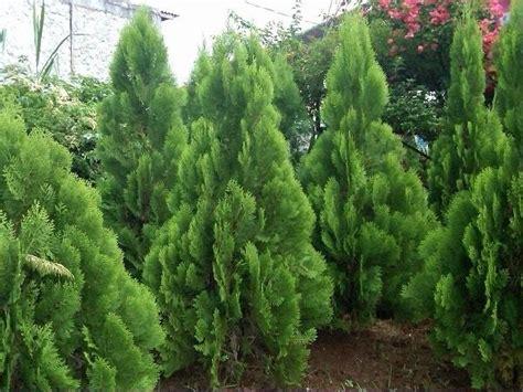 Tanaman Daun Cemara Golden Malaika jenis pohon cemara dan harga bibit pohon cemara bibit