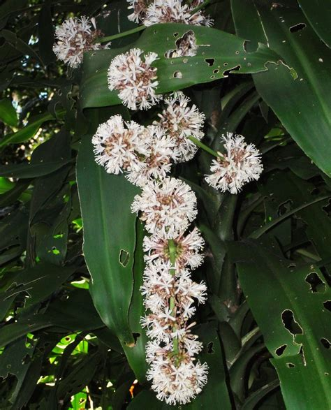 Low Light House Trees by Plants Amp Flowers 187 Dracaena Fragrans