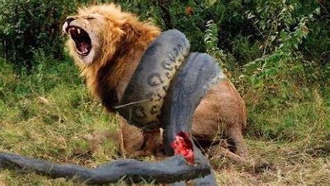 imagenes increibles de animales 10 peleas increibles de animales registradas en c 225 mara