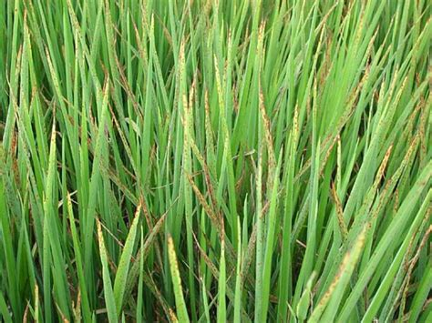 Deficiency Diseases In Plants - arkansas rice sulfur and potassium deficiency in rice
