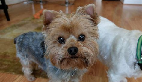 things yorkies 16 things all terrier owners must never forget