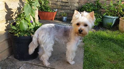 wanted yorkie puppy white terrier missed in bedford today bedford bedfordshire pets4homes