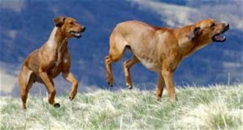 Do Rhodesian Ridgeback Shed by Dogs World July 2010