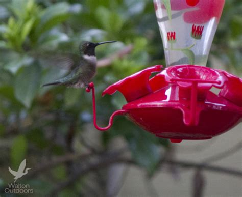 enjoy migrating hummingbirds in northwest florida this
