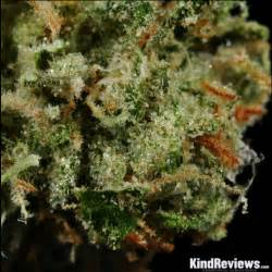 northern lights number one marijuana strain review the