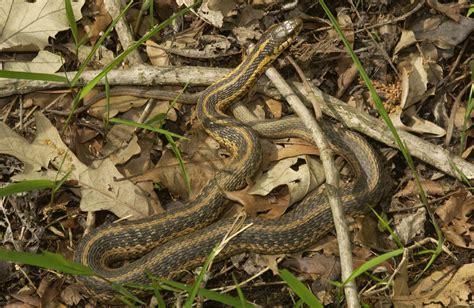 eastern gartersnake eastern garter snake mdc discover nature