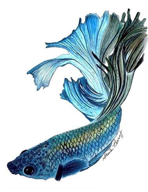 betta fighting fish painting by sheila perry