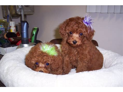 puppies for sale in bakersfield puppies for sale poodle poodles f category in bakersfield california