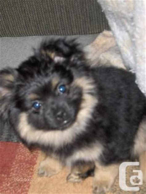 purebred pomeranian purebred pomeranian puppy for sale in burlington ontario classifieds