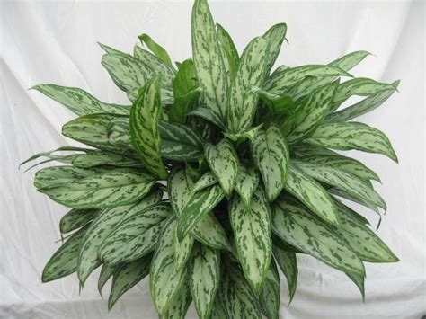 Aglaonema Silver plant of the month aglaonema park plantscapes tropical office plants