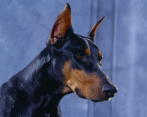 Animals dogs doberman wallpaper   AllWallpaper.in #9991