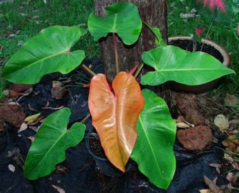 blushing philodendron philodendron erubescens blushing