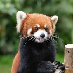panda möbel il panda rosso un adorabile pasticcione