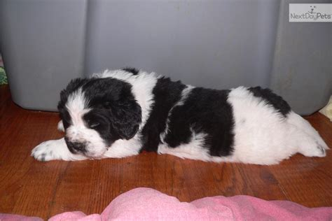 newfoundland puppies for sale near me newfoundland puppy for sale near janesville wisconsin eeec0c4a 3751