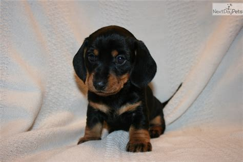 miniature dachshund puppies for sale in missouri dachshund mini puppy for sale near lake of the ozarks