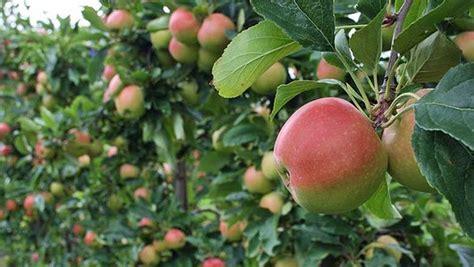 apfelbaum mehrere sorten apfelb 228 ume pflanzen und pflegen ndr de ratgeber