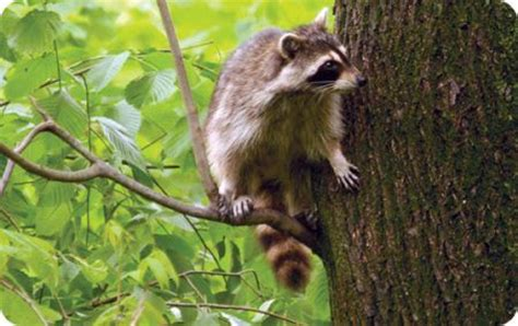 deter raccoons wild birds unlimited wild birds unlimited